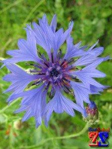 Василек - тоже лекарственное растение
