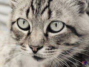 Среди кошек часто встречаются сероглазки
