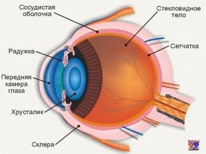 Устройство глаза: почему бывают узкие зрачки