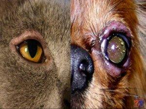 Воспаление краешков век у животных