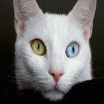 Зачем котэ пользуется цветными линзами?