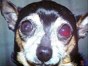 Собака с травматической глаукомой