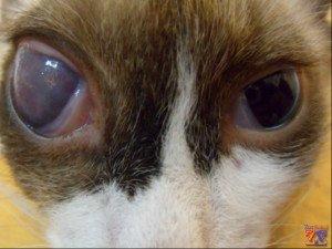 Котенок с глаукомой, сопровождающейся буфтальмом