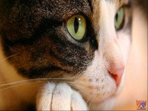 Кошки тоже страдают заболеваниями глаз