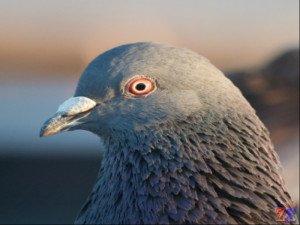 Птицы тоже подвержены коньюктивиту