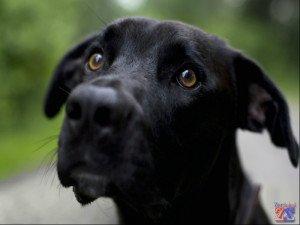 Умные собачьи глаза тоже болеют