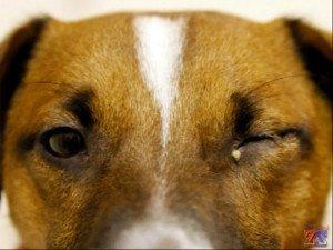 Так может выглядеть собака с коньюктивитом