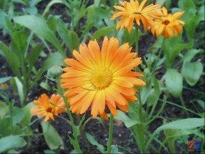 Календула - прекрасное лекарство от конъюнктивита