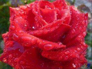 Роза может излечить не только душу, но и глазки