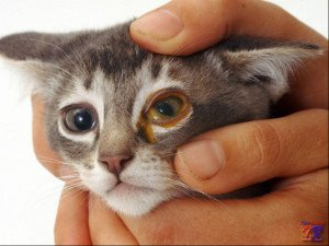 Показания к применению: инфекционные заболевания глаз у кошки