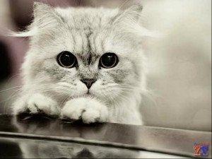 Некоторые кошки после закапывания могут 5-6 минут испытывать дискомфорт