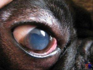 Основной признак кератита у домашних животных - помутнение роговицы