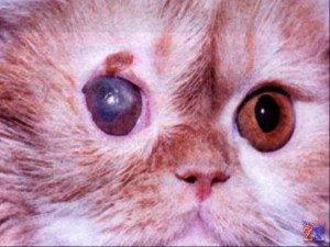 Язвенная форма кератита у персидского кота