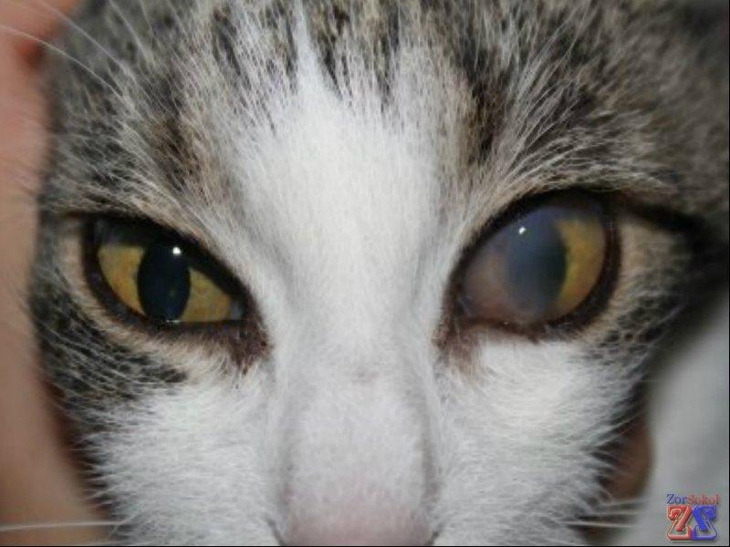 Бельмо у кошки как лечить в домашних условиях