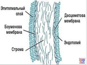 Структура роговой оболочки