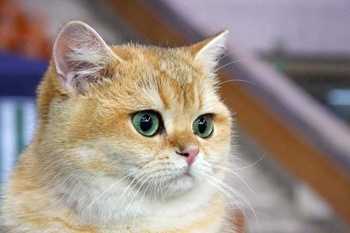 Конъюнктивит у кошки лечение в домашних условиях 172
