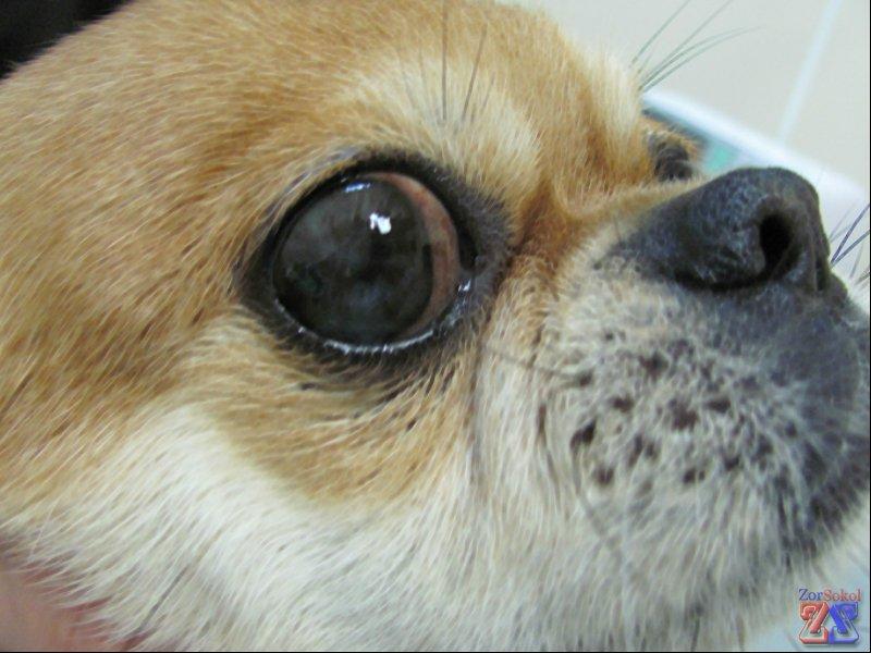 Лейкома у людей и домашних животных