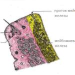 Мейбомиевы железы